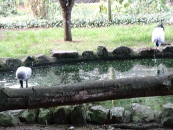 2017.08.06-043 ibis sacrés
