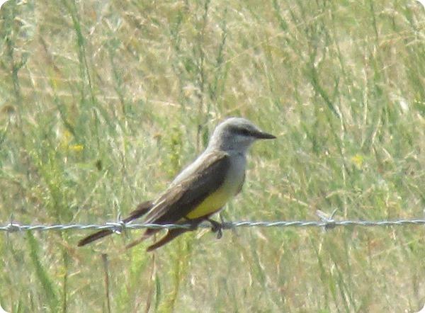 IMG_8620 Western Kingbird Bird (4)