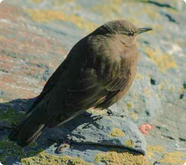 remolinera-negra-Cinclodes_antarcticus