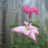 Gardening 2010, Part Three - 101_5006.JPG