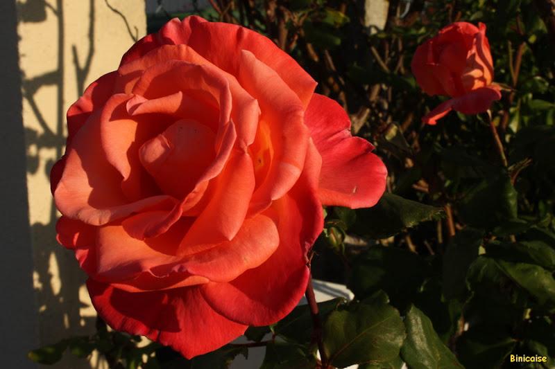 Roses en automne. dans Jardin binicaise