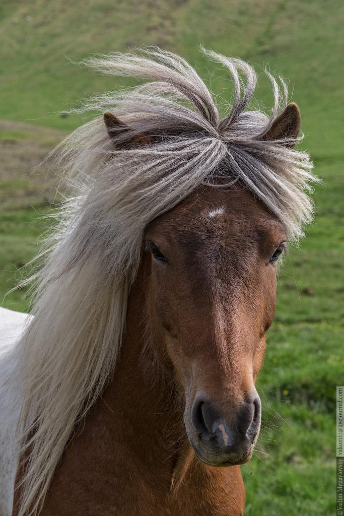 Исландские лошадки - Icelandic horses