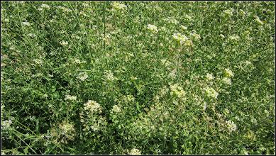 Photo: Traista-ciobanului (Capsella bursa-pastoris) - din Turda, de pe Str. Ion Agarbiceanu - 2018.04.28
