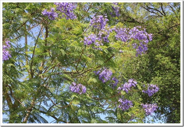 Bonsai Blue Jacaranda Where Have You Been All My Life