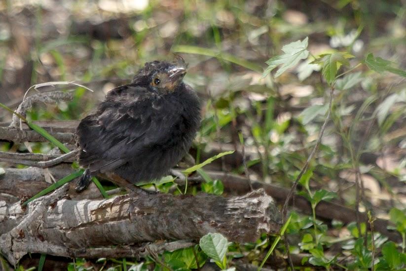 fledgling grackle - photo #20