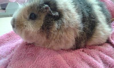 Rex guinea pig pet family