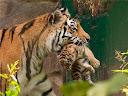 mãe tigre e filhote