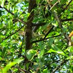 Chiang Mai - Granatapfelbaum
