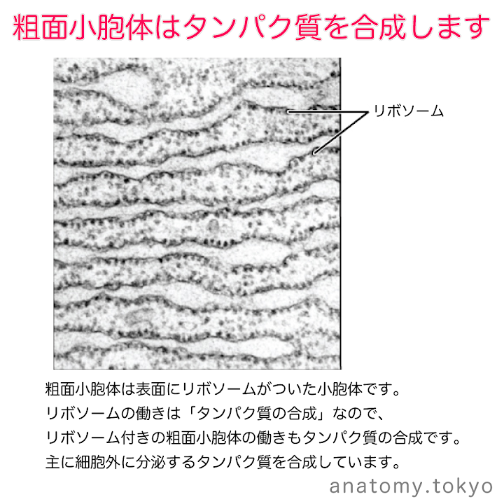t111-18-粗面小胞体はタンパク質を合成する.png