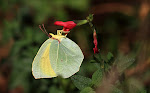 Orange citronsommerfugl, cleopatra2.jpg