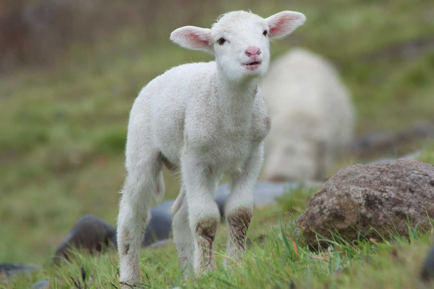 viewing gallery for cute baby lamb displaying 18 images for cute baby ...