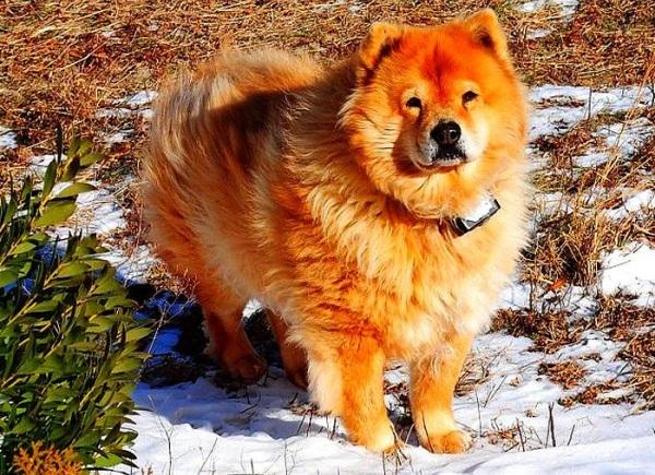 Chó chow chow - Các giống chó tuyết đẹp nhất thế giới