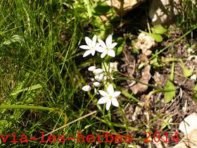 ail cilie, Allium subhirsutum.JPG .jpg