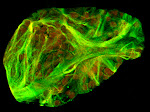 Arabidopsis leaf cell misexpressing a reproductive actin (green). Chloroplasts (red). Imaged by Kandasamy, Meagher's Lab