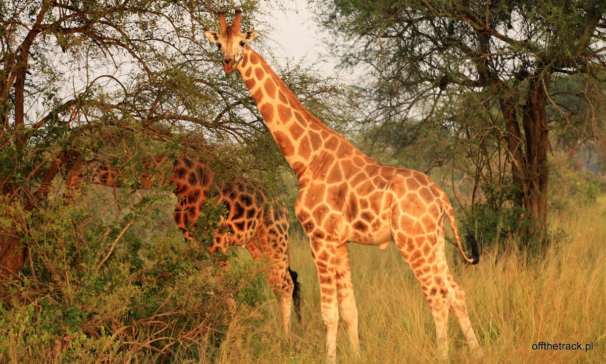 Dwie żyrafy Rothschilda jedzą z drzew, park narodowy Murchison Falls, Uganda