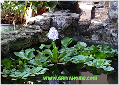 Eceng Gondok (Eichornia crassipes)