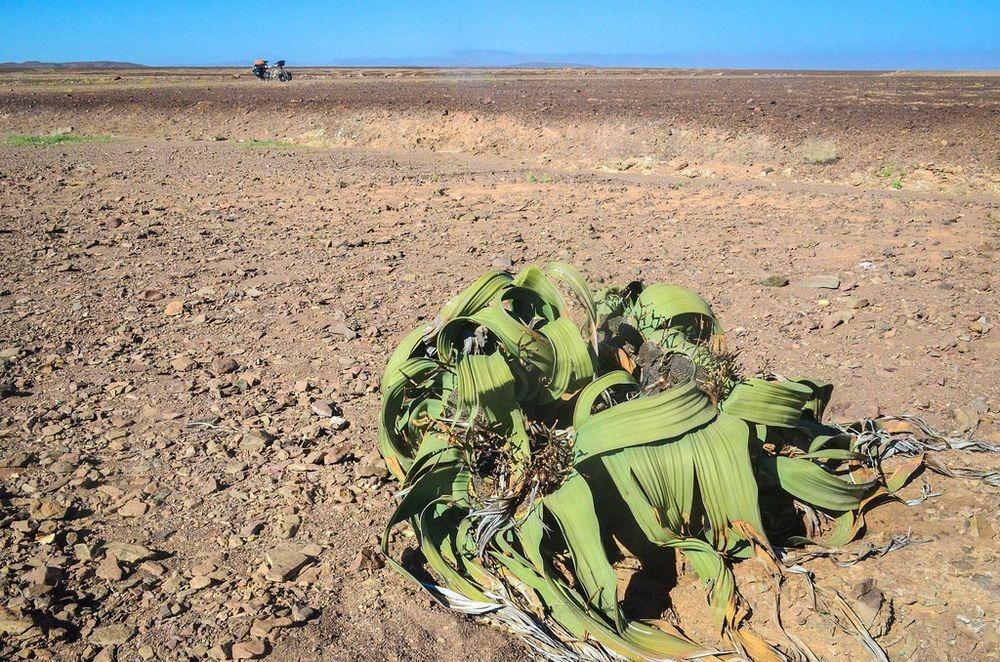 welwitschia-mirablilis-11