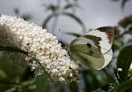Stor kålsommerfugl.3.jpg