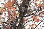 PLANQUÉE   Chouette chevêche dans son arbre fétiche, un vieux chêne abritant des chenilles processionnaires