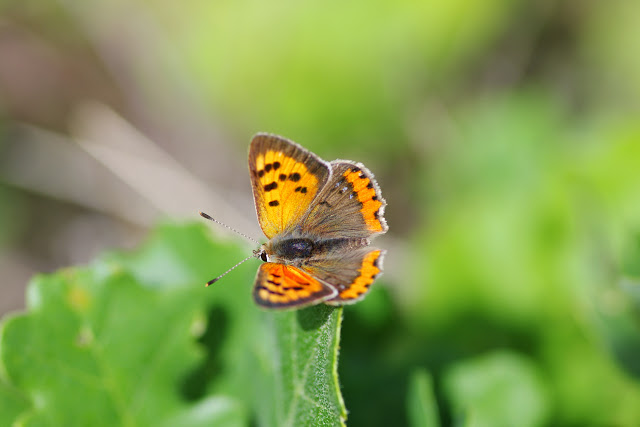 Lycaena phlaeas (L., 1761), mâle. Plateau de Coupon (511 m), Viens (Vaucluse), 12 mai 2014. Photo : J.-M. Gayman