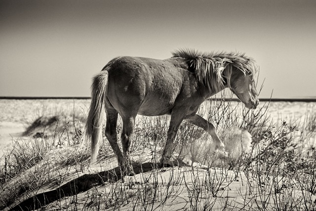 assateague 9