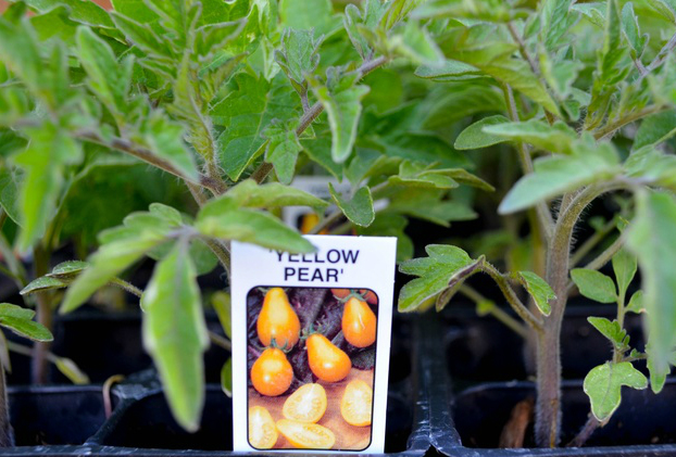 Cà chua bi hình trái lê gây sốt tại Việt Nam - 55c961dc0b7aa