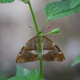Telchin licus pauperata STRAND, 1913 (?). Tunda Loma à Calderon (Esmeraldas, Équateur), 28 novembre 2013. Photo : J.-M. Gayman