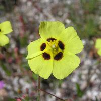 08 Tuberaria gutata. Hierba turmera
