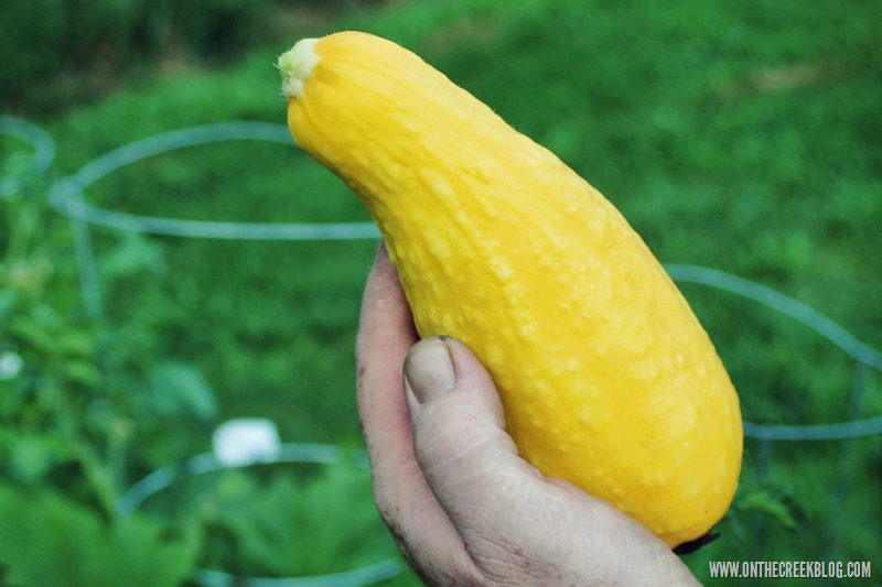 Fresh yellow squash from the garden