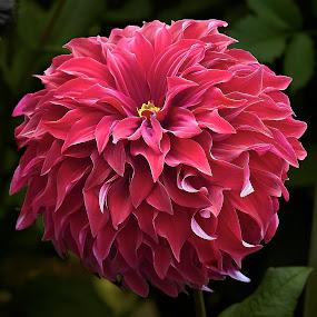 Dahlia 8702~ 1 by Raphael RaCcoon - Flowers Single Flower