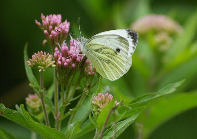 Pieris napi napi LINNAEUS, 1758, femelle. Les Hautes-Lisières, 12 juillet 2009. Photo : J.-M. Gayman