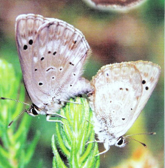 Figure 2 : couple d'O. niobe in copula ; le mâle est à droite. Photo : David Britton (1996)