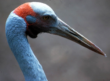 Brolga crane. The International Crane Foundation