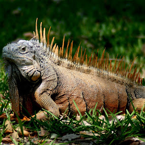 Belize Iguana by Bill Bettilyon - Animals Reptiles