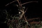 COUCOU C'EST MOI ! Grâce à une rallonge et une lampe de chevet, j'ai pu photographier ce raton-laveur sans flash