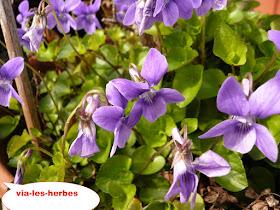 violettes 3.JPG