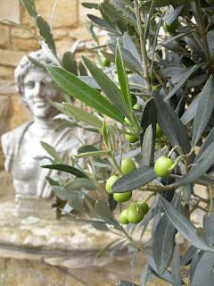 Оливковый куст