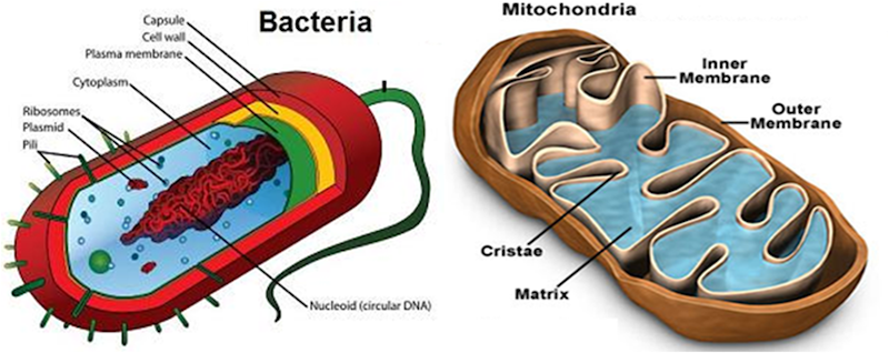 Similarity between prokaryotes and mitochondrion