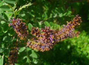Amorfa zwyczajna kwiatostan Amorfa fruticosa florescence