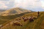 COULEURS DES CARPATES  Un berger et son troupeau d'une centaine de bêtes dans les Carpates méridionales, Roumanie, 2014
