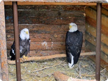 Bald Eagle at Cheyenne Mountain Zoo