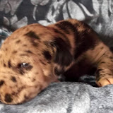 available merle male #1