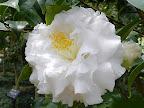 花心帯ピンクの白色 牡丹咲き 中〜大輪 フリル弁