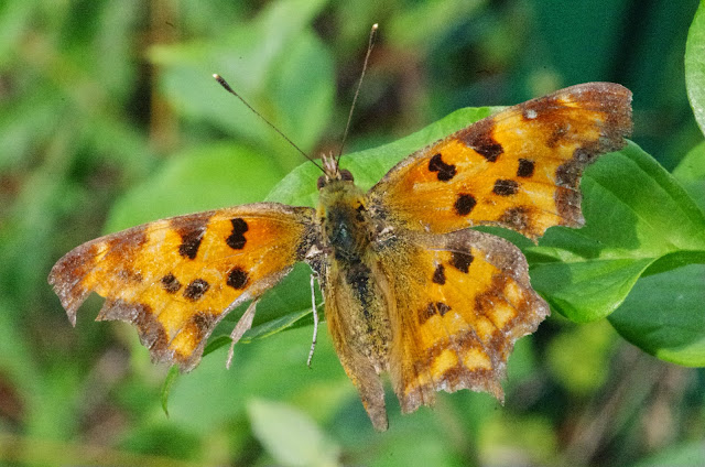 Polygonia c-album (L., 1758). Aix-en-Provence (13, France), 28 juillet 2014. Photo : J.-M. Gayman