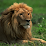 About Lions - Learn All About Lions's profile photo