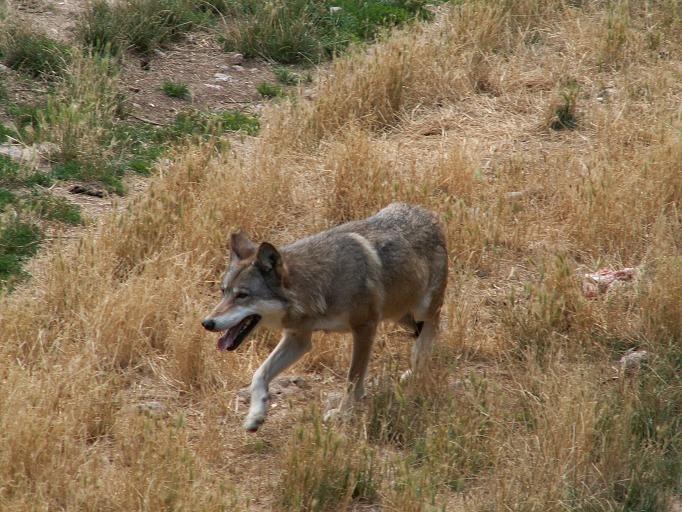 [biodiversit%C3%A0-Canis_lupus%5B4%5D]