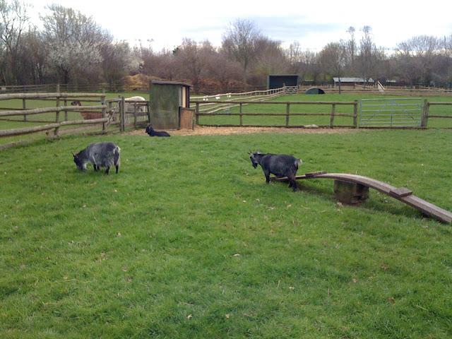 Mudchute+Farm+and+Park+Canary+Wharf+pygmy+goats