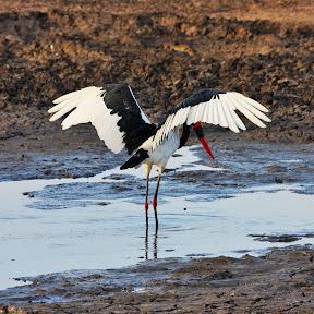 Saddle-Billed Stork, South Africa