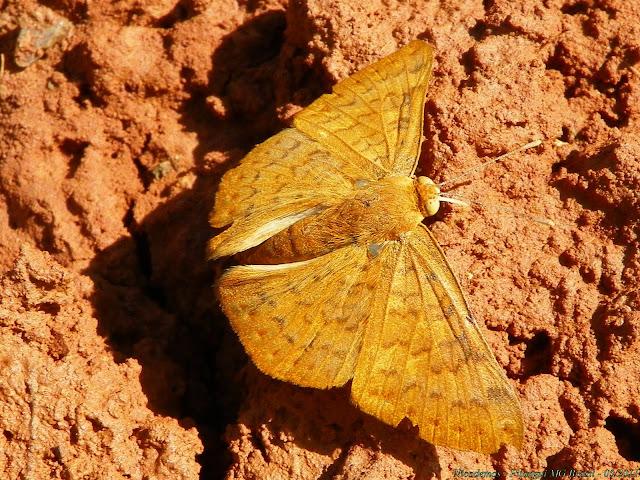 Helicopini : Emesis mandana mandana (CRAMER, 1780). Pitangui (MG, Brésil), 9 mai 2011. Photo : Nicodemos Rosa