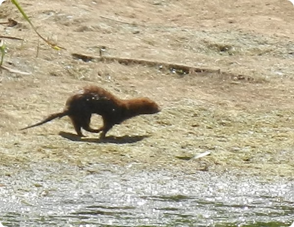 IMG_9633a Mink Maybe (9)